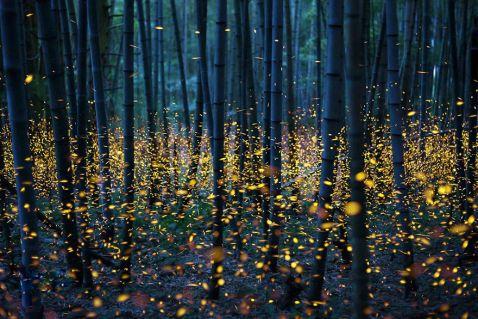 10 нереально прекрасних знімків світлячків в літній Японії