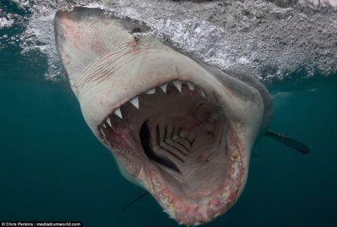 Американський фотограф зробив фото білих акул, від яких холоне кров
