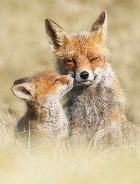 13 рідкісних знімків з «особистої» життя лисиць, яку ми не бачимо
