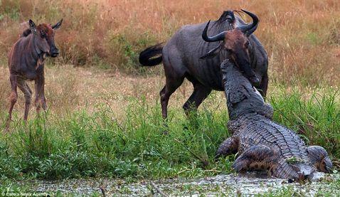 Неймовірна сутичка бегемота з крокодилом з-за антилопи гну