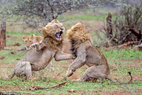16 яскравих фото драматичної сутички двох левів з-за самки
