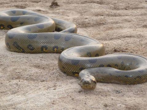 Найбільша змія у світі