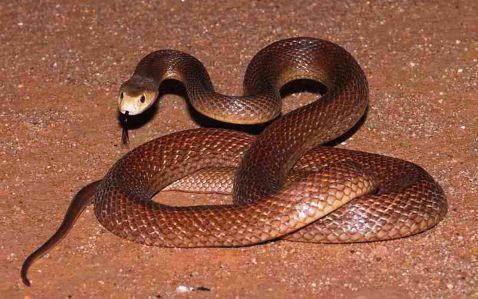 Найбільша отруйна змія у світі