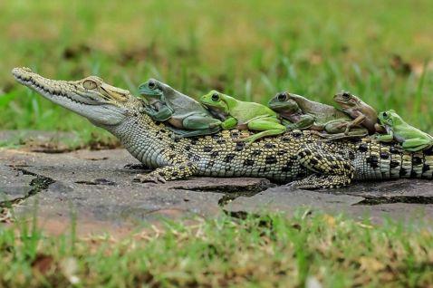 Верхи на крокодилі