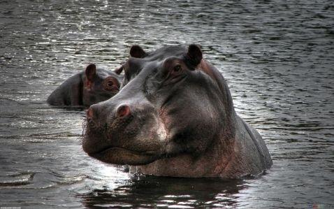 Найнебезпечніше тварина в Африці