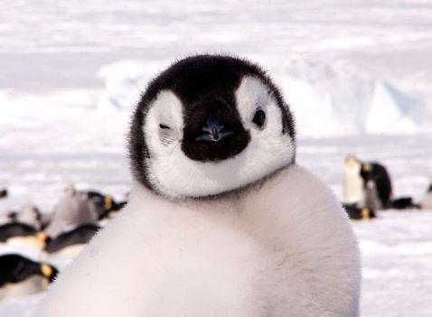 Наймиліші кадри минає: любов і ніжність імператорських пінгвінів