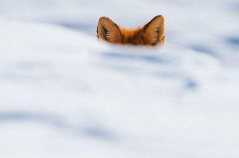 15 чудових зимових портретів лисиць, у яких ви закохаєтесь з першого погляду