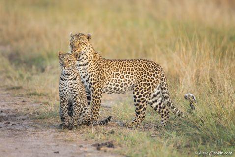 10+ цікавих фактів про леопардів