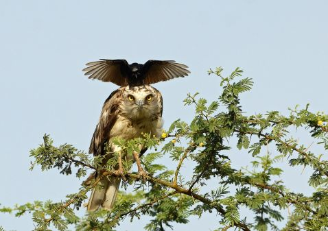 Настирлива ворона зводить орла з розуму, знову і знову приземляючись йому на голову