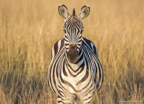 Дика дієта. Скільки влазить в слона, лева, бегемота, леопарда..?