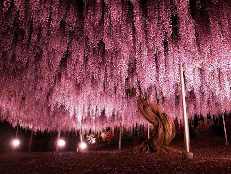 10 причин кинути все і відправитися до Японії на казковий фестиваль гліцинії