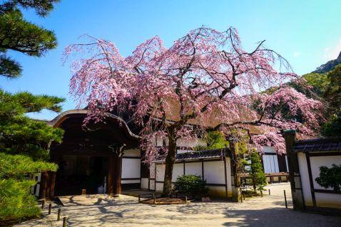 Сакура в Кіото: щось пішло не так