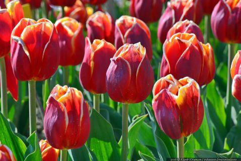 Найбільше поле тюльпанів у світі