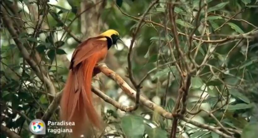 Райські птахи — дивовижні і незвичайні створення, чия краса полонить