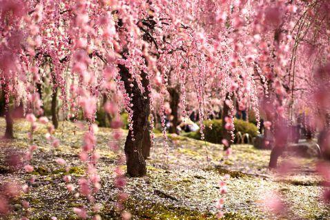 Головне весняне подія в Японії