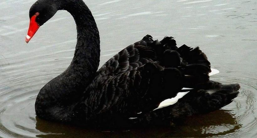 У Новій Зеландії мешкав унікальний вигляд чорних лебедів
